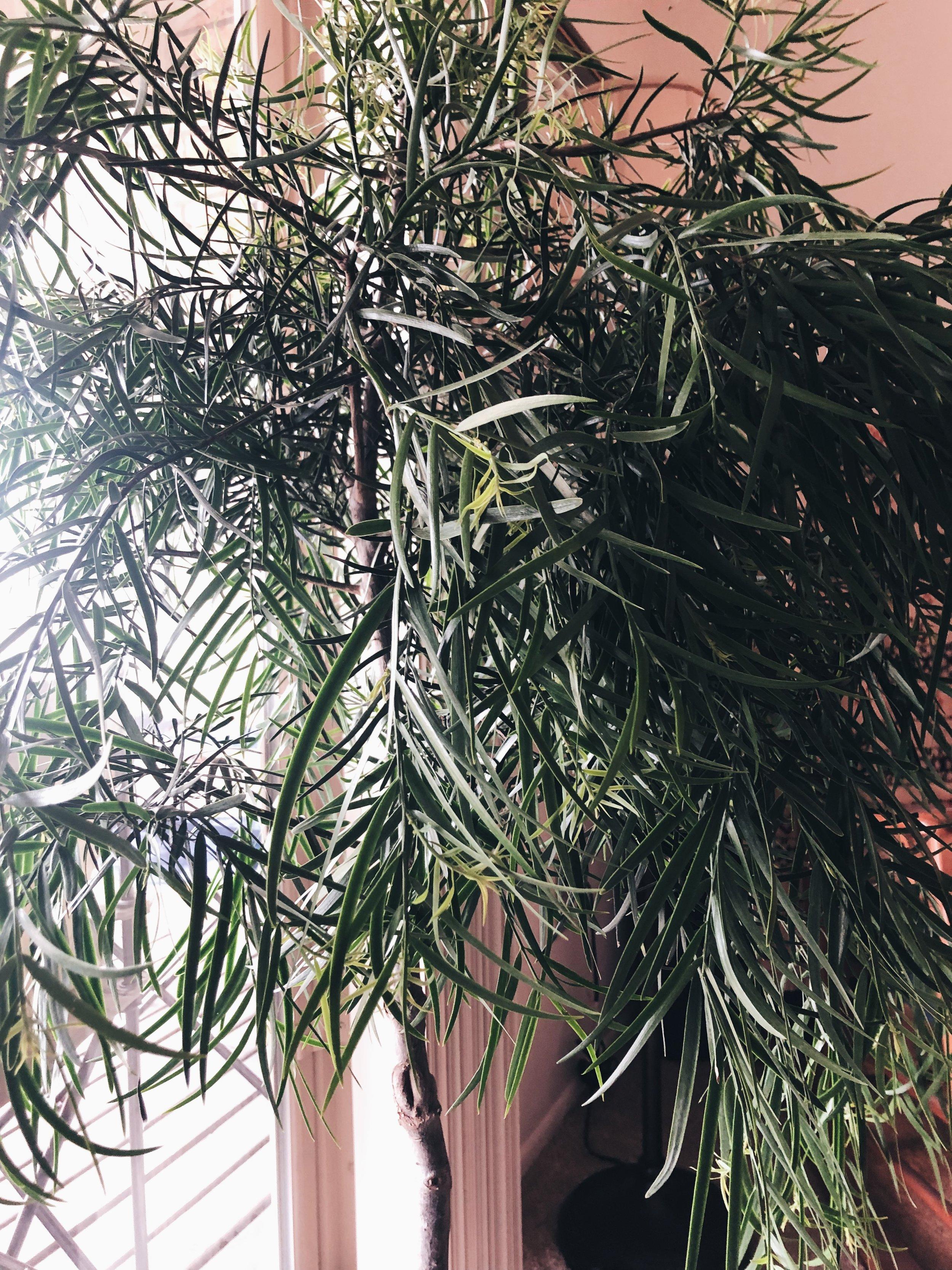 """""""Flopsy"""" the Podocarpus - Podocarpus Neriifolius"""
