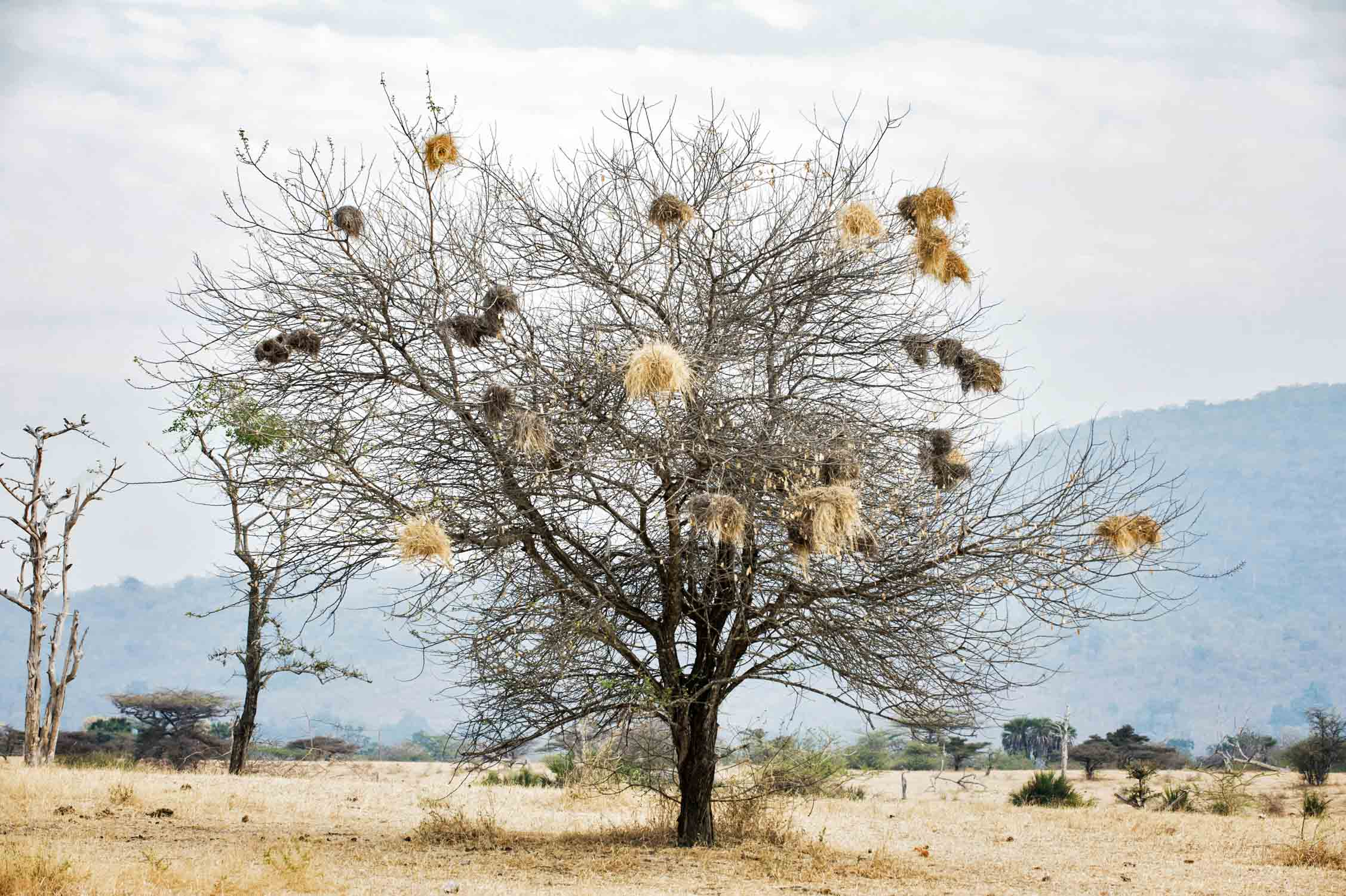 Nests of the Red-billed buffalo weavers are composed of an enormous mass of twigs and grass.