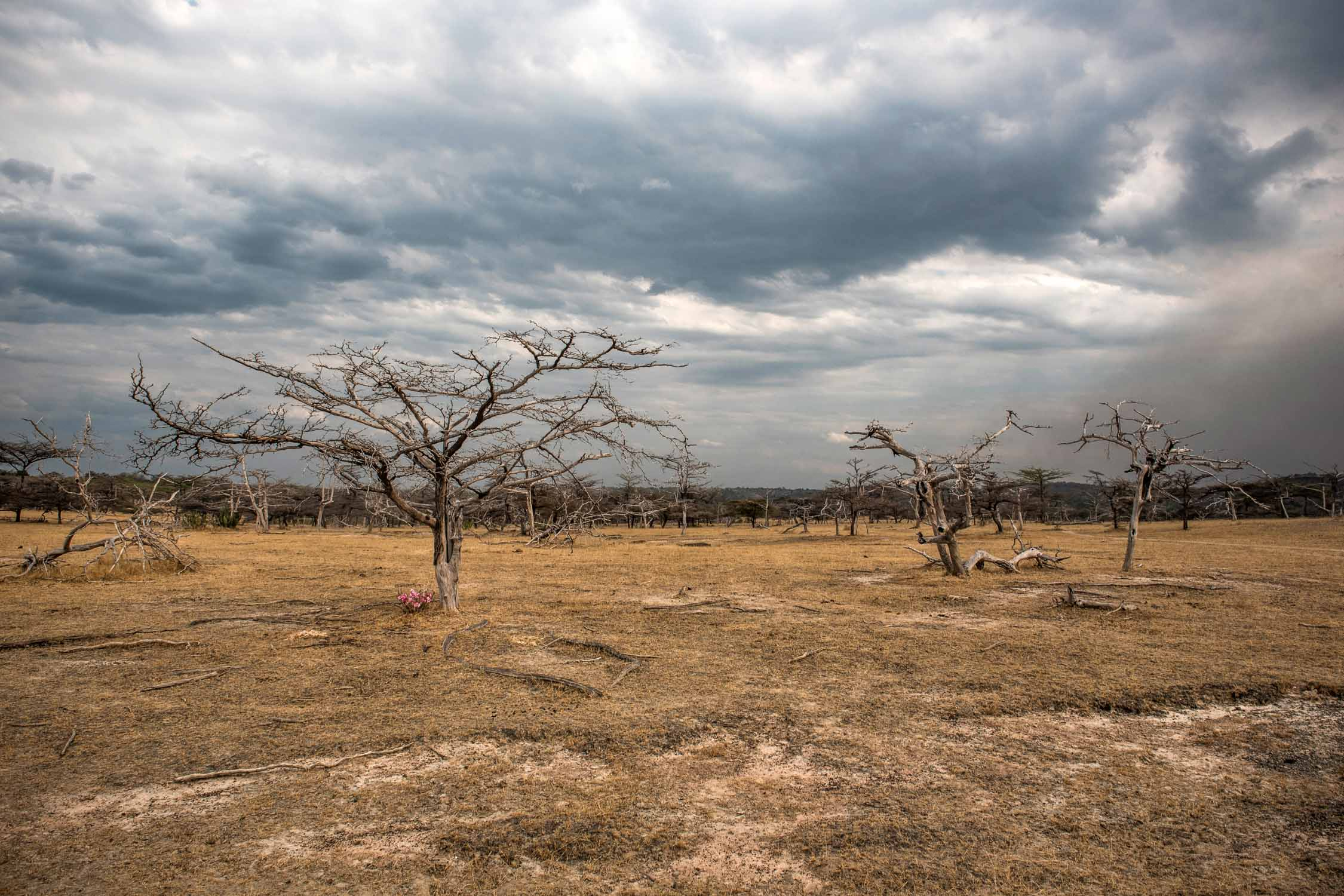 Acacia trees in the arid landscape in Selous Game Reserve during the dry season.