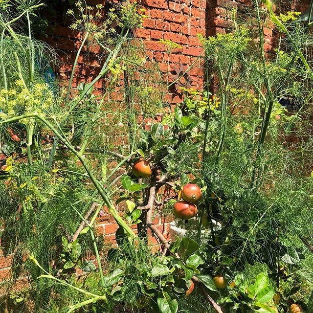 #mindful #gardening. Maybe too mindful as the fennel has gone to seed! Oh well, still #abundant and #grateful for time in the #sun and #nature ☀️😎🙏