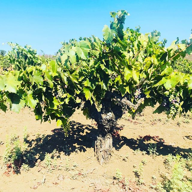 **new instagram: lacasaviejabajamex 🍷salud!  the true history of american viticulture (minus the indigenous vines) lie in these vines. 🍇 over 120 year old mission vines 🍇 in san antonio de las minus—5 miles as the crow flies from baja's pacific coast. these were planted by spanish missionaries which began in mexico before they made their way northbound. this is viticulture americana. 🙏🏾