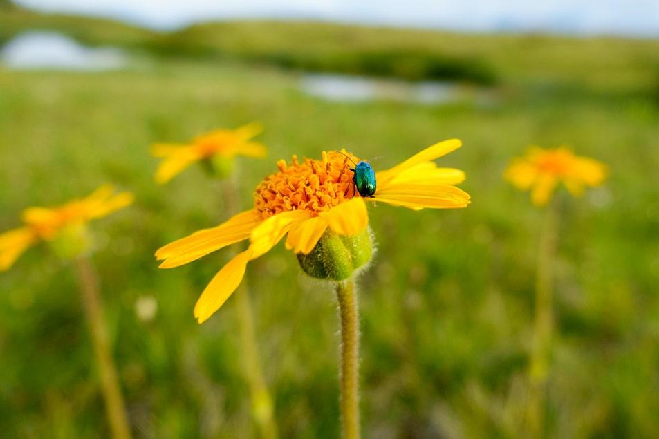 arnica-flower-min.jpg