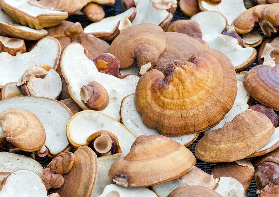 reishi-mushroom (1).jpg