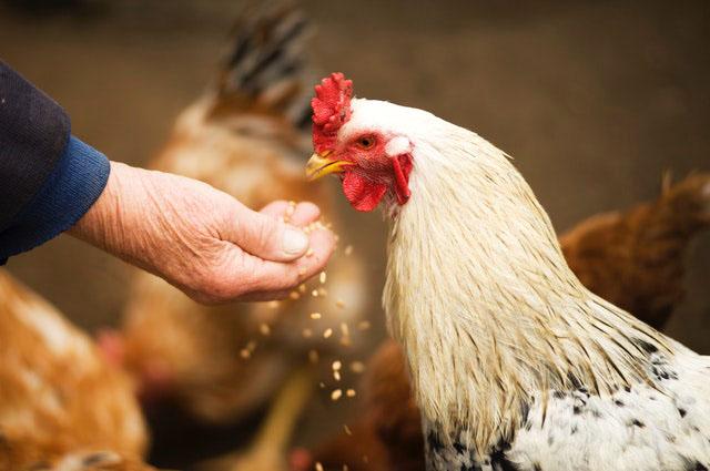 old man feeding chicken.jpg