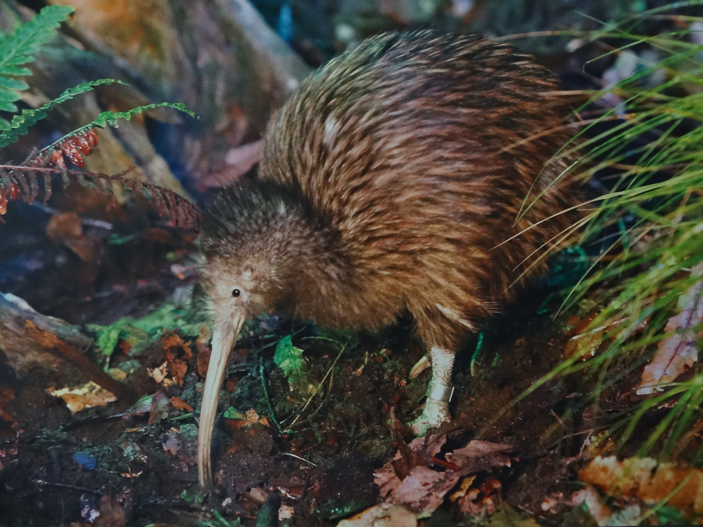 A Kiwi in a bird park near Rotorua on New Zealand's North Island