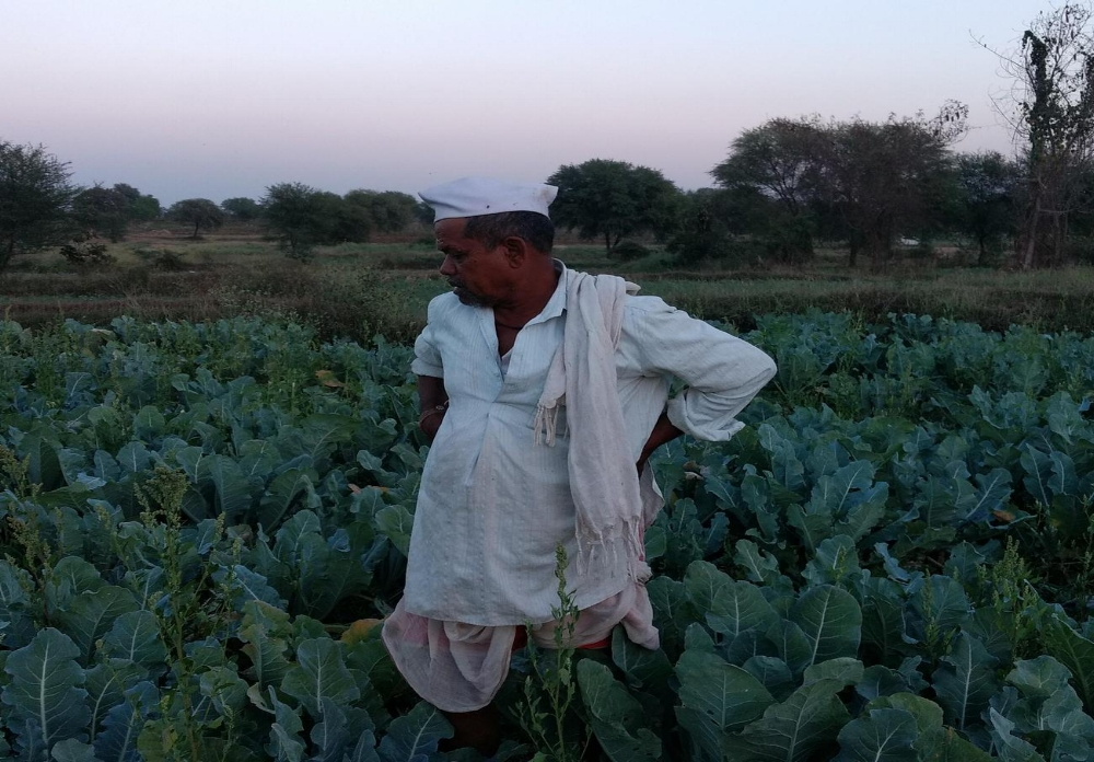 An Indian farmer in his field of cauliflower in the state of Maharashtra