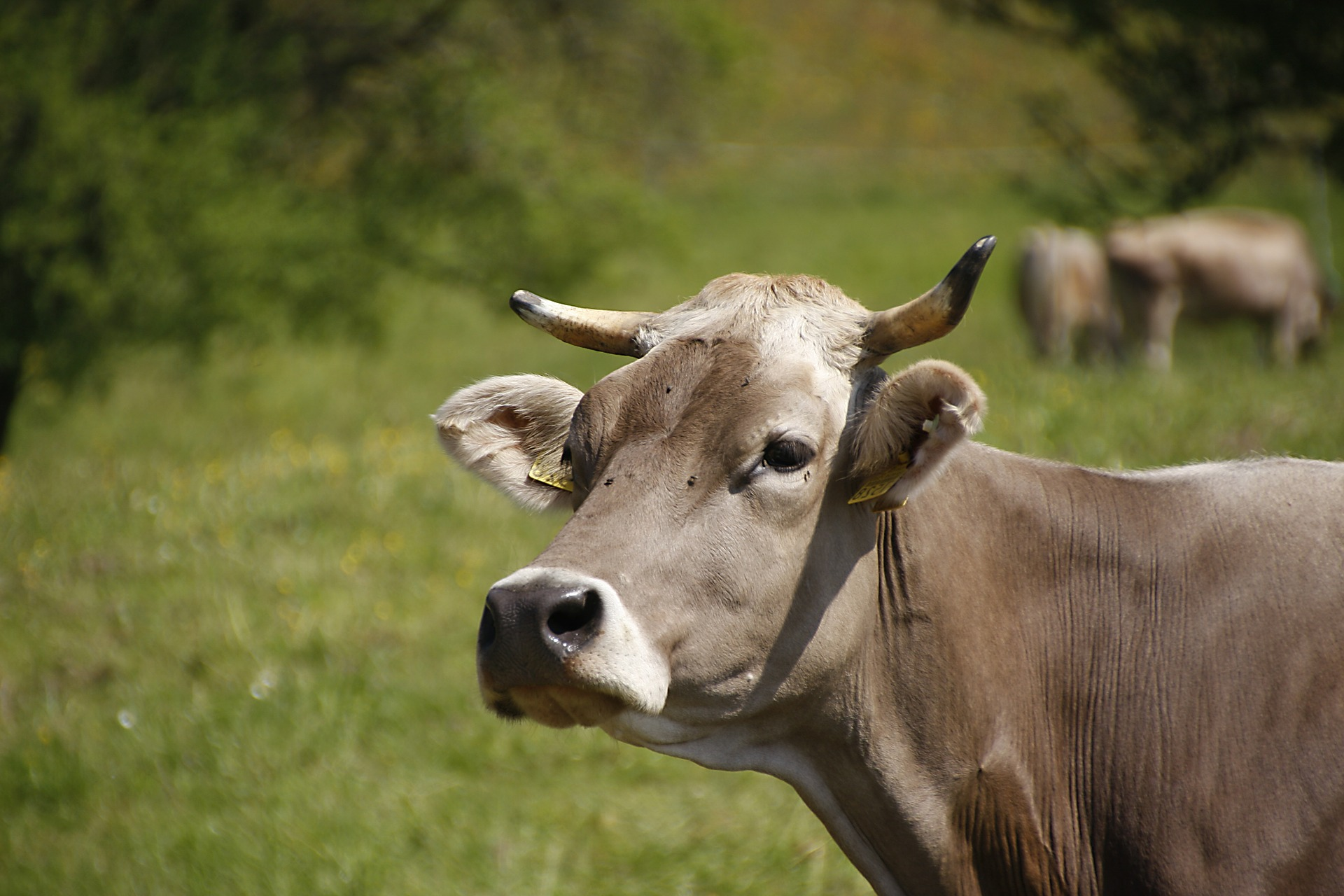 Swiss voters rejected a referendum subsidizing farmers who did not remove their cows' horns. (Pixabay)