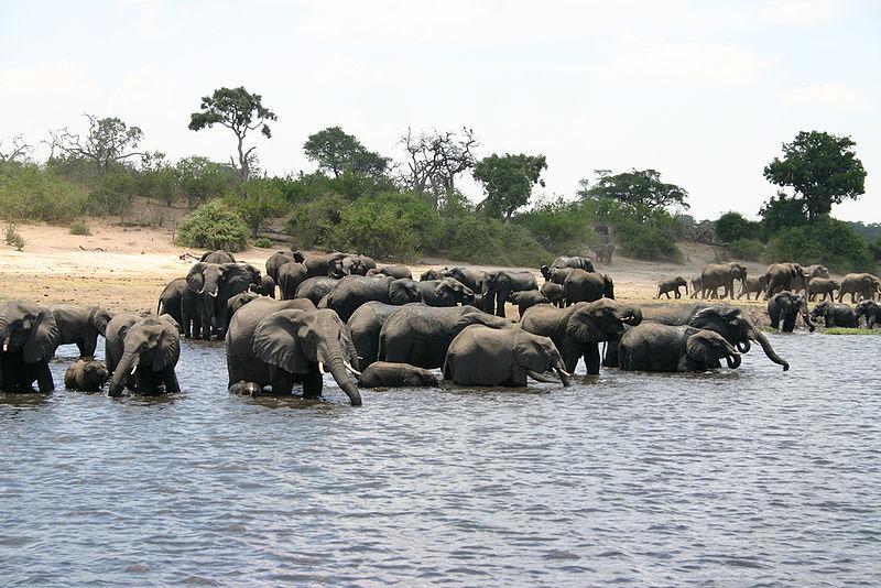 A herd of elephants swims in Botswana. ( Wikimedia Commons)