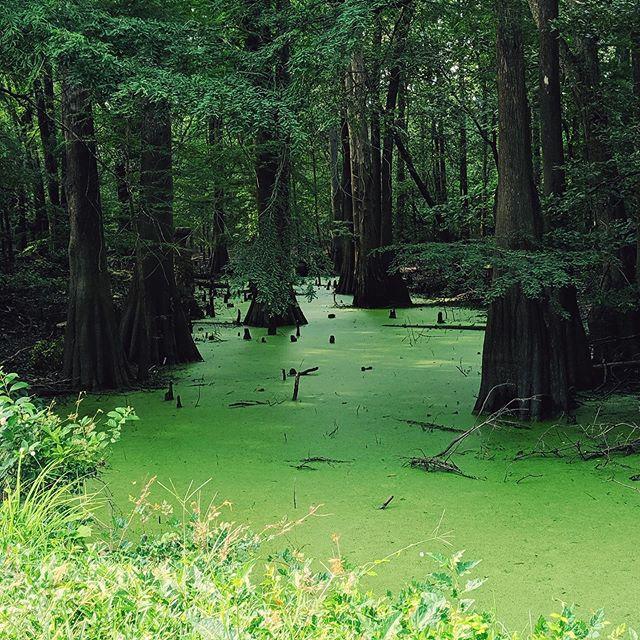 Does Shrek live here? 🤔💚 #northcarolina #baldcypress