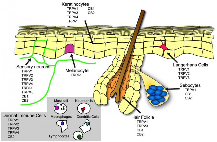 skin-cannabinoid-receptors-e1504827021792.png