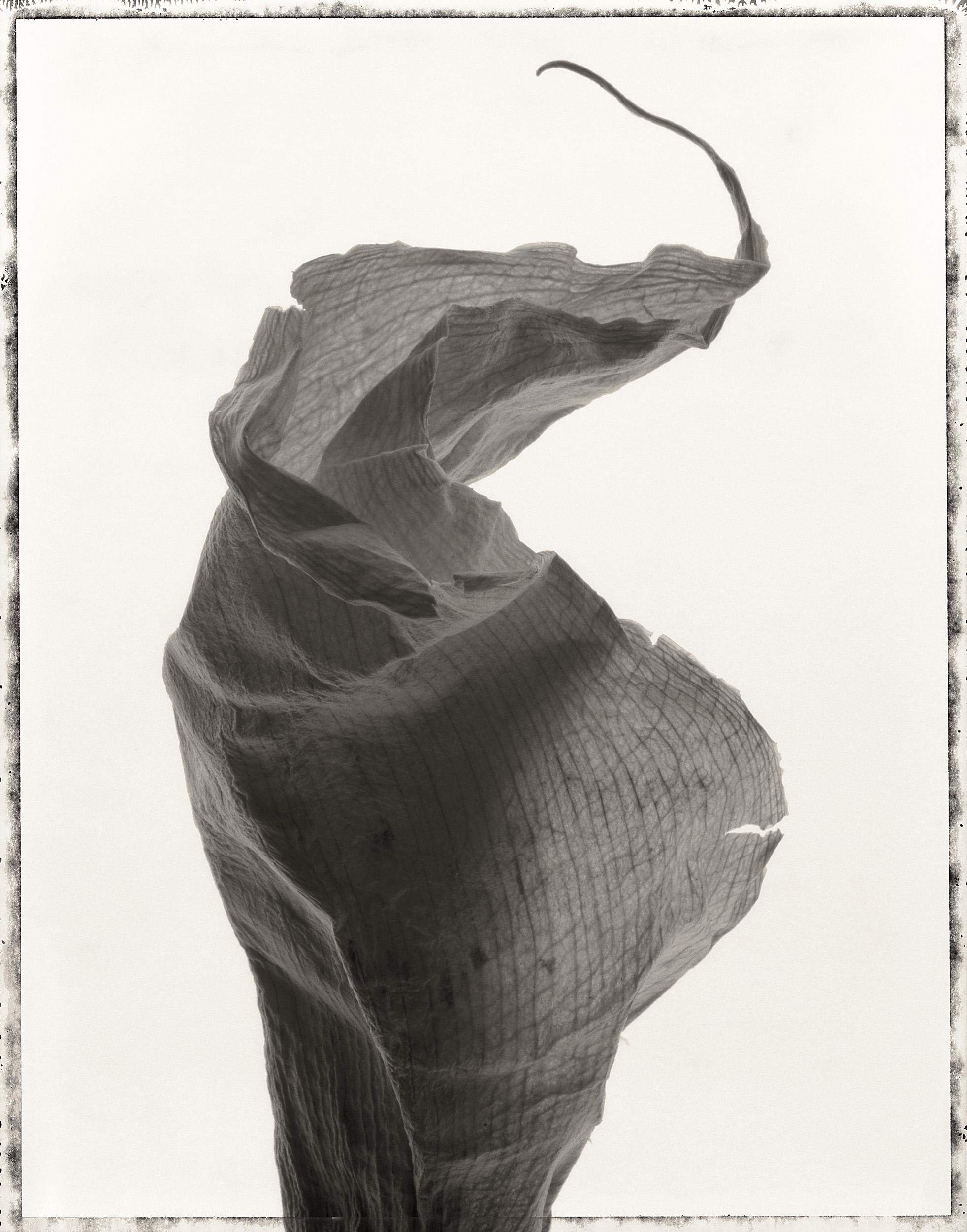 dried_lily_print25.jpg