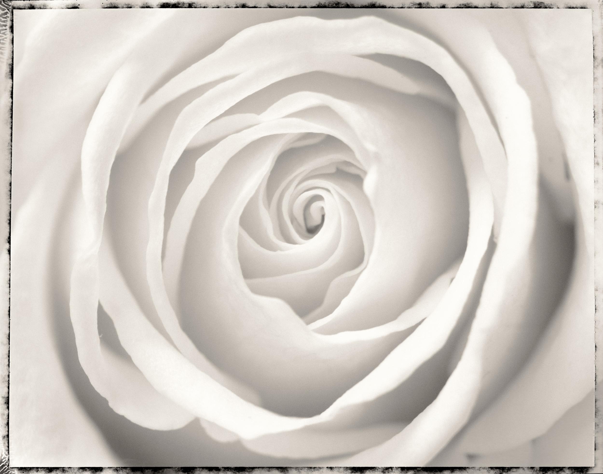 rose1_closeup_print58.jpg