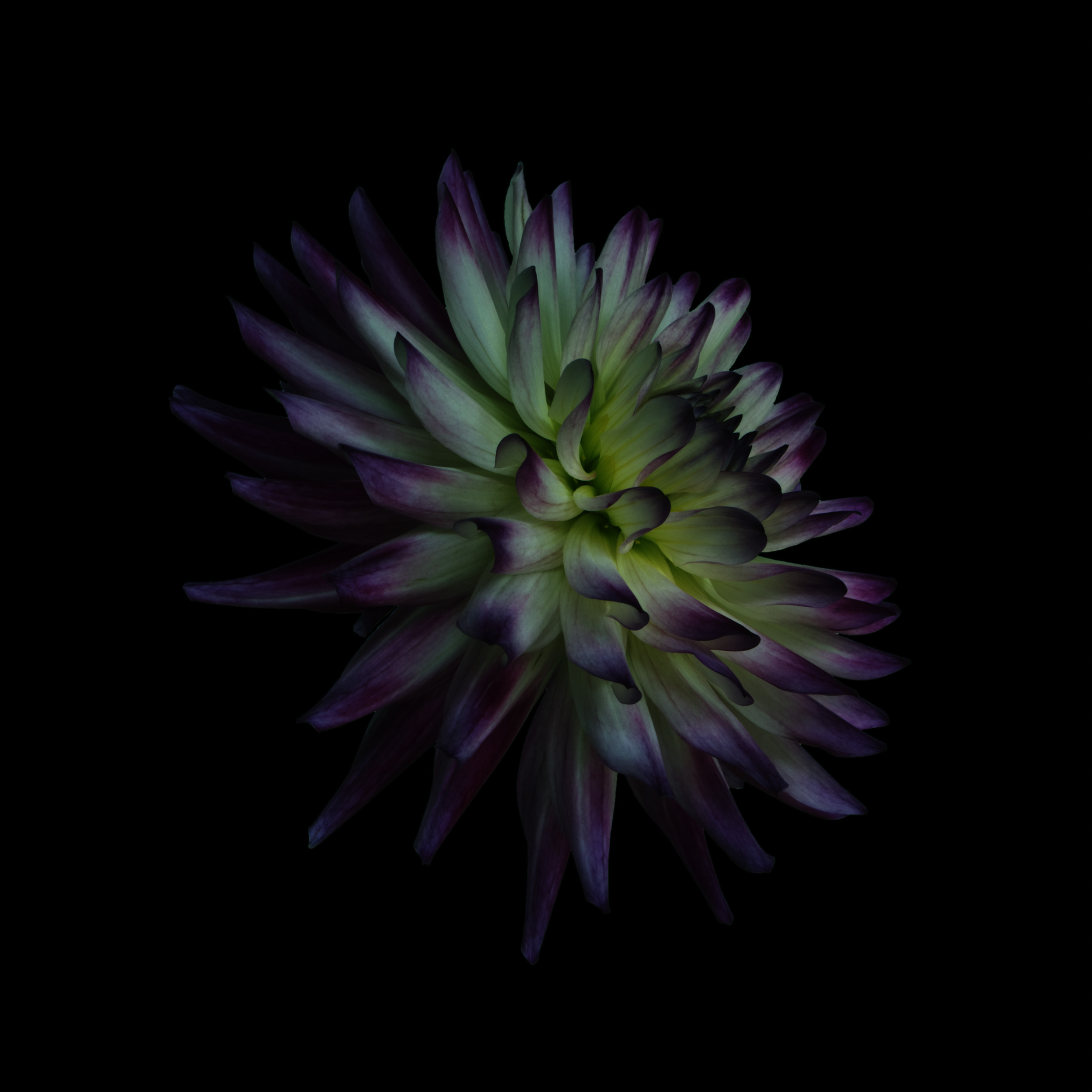 dahlia37-black-coloured1.jpg