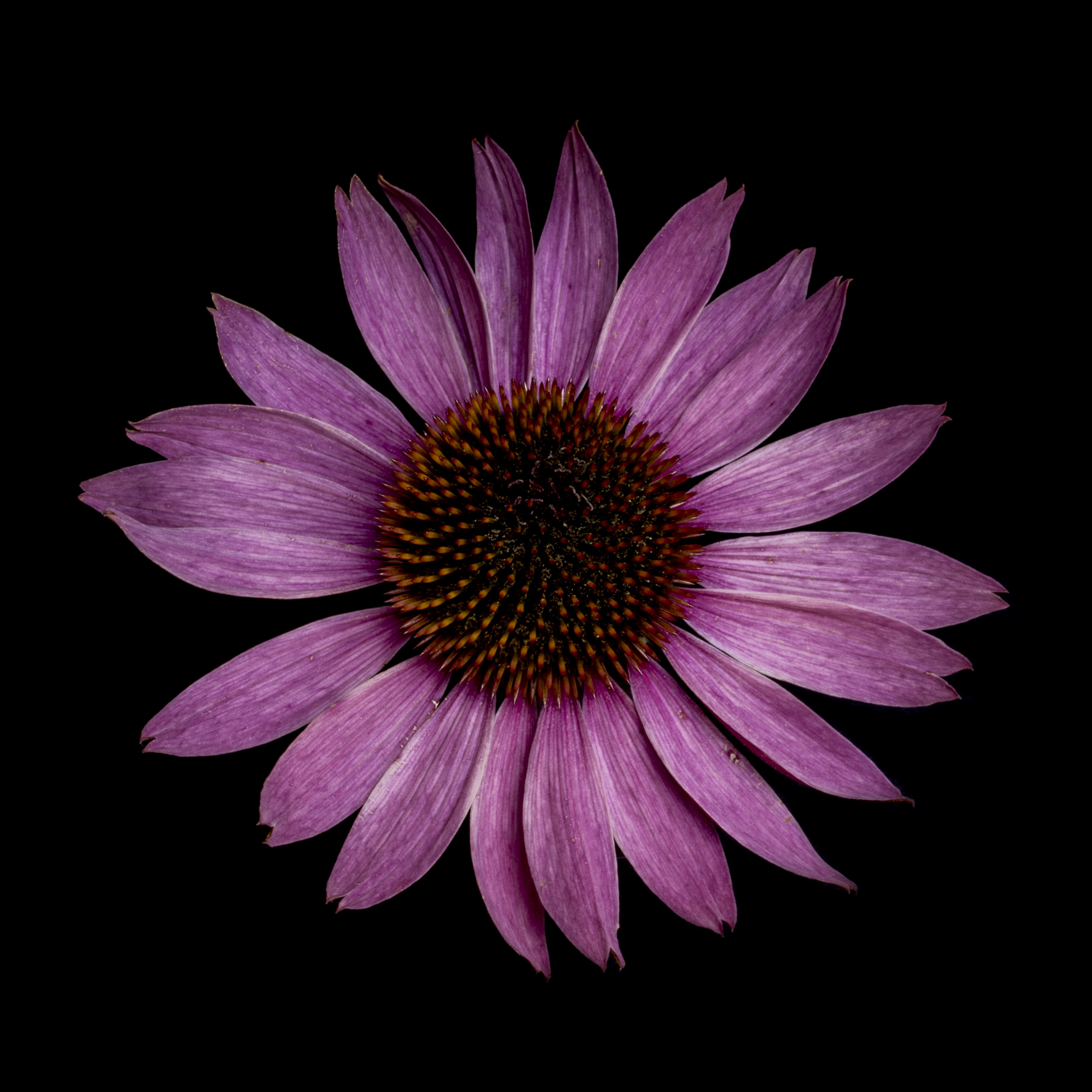 echinacea-0330615.jpg