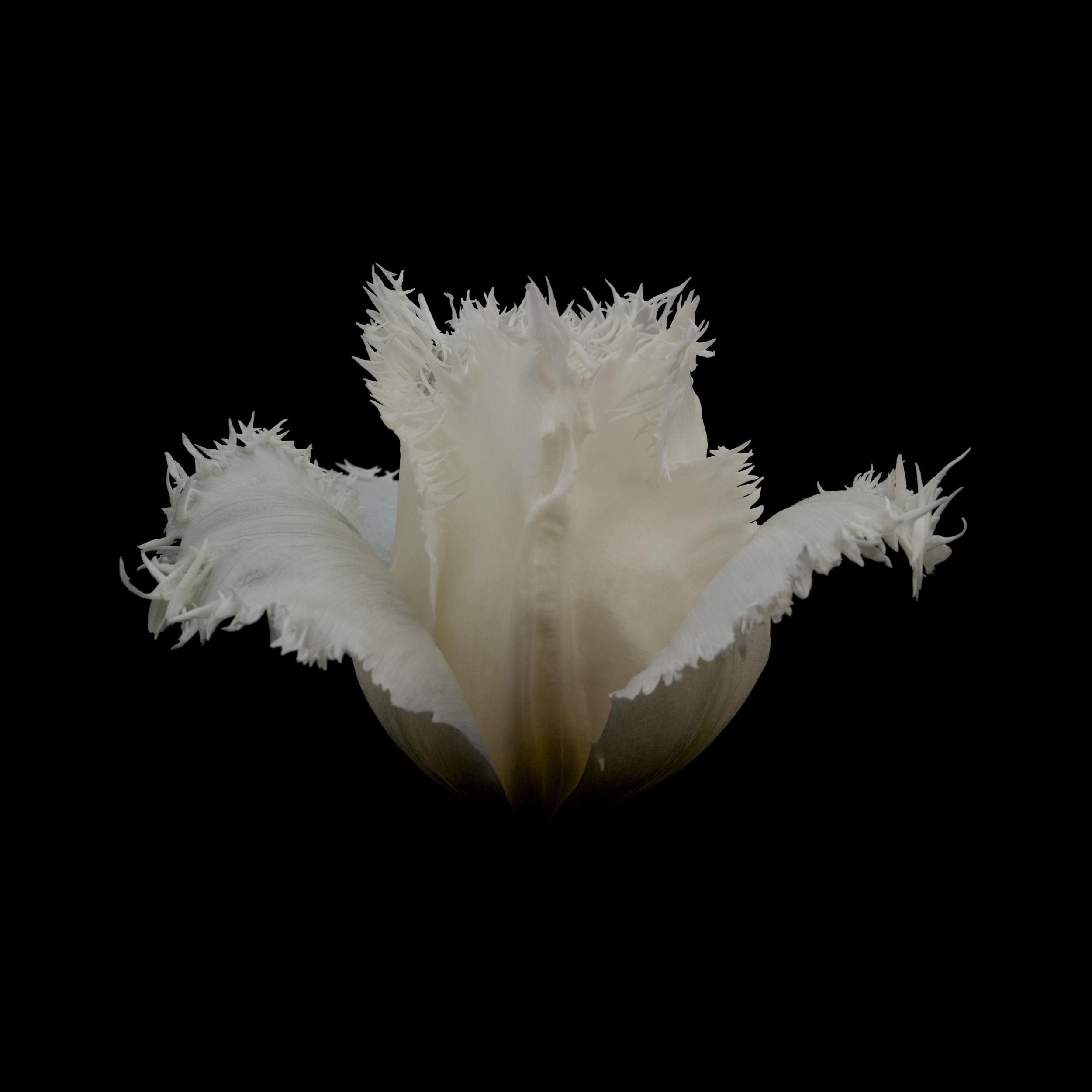 white-tulip-0162011.jpg