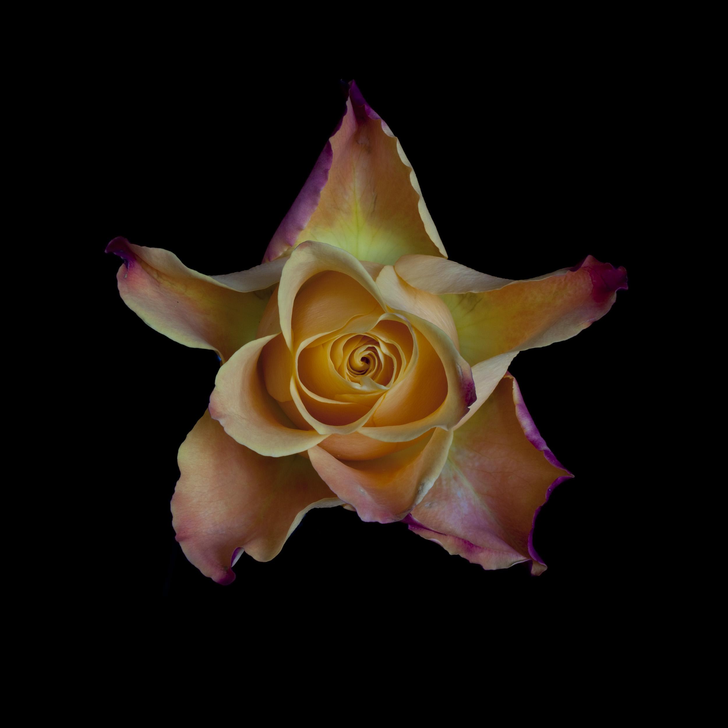 yellow-rose-23.jpg
