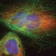Confocal Fluorescence image