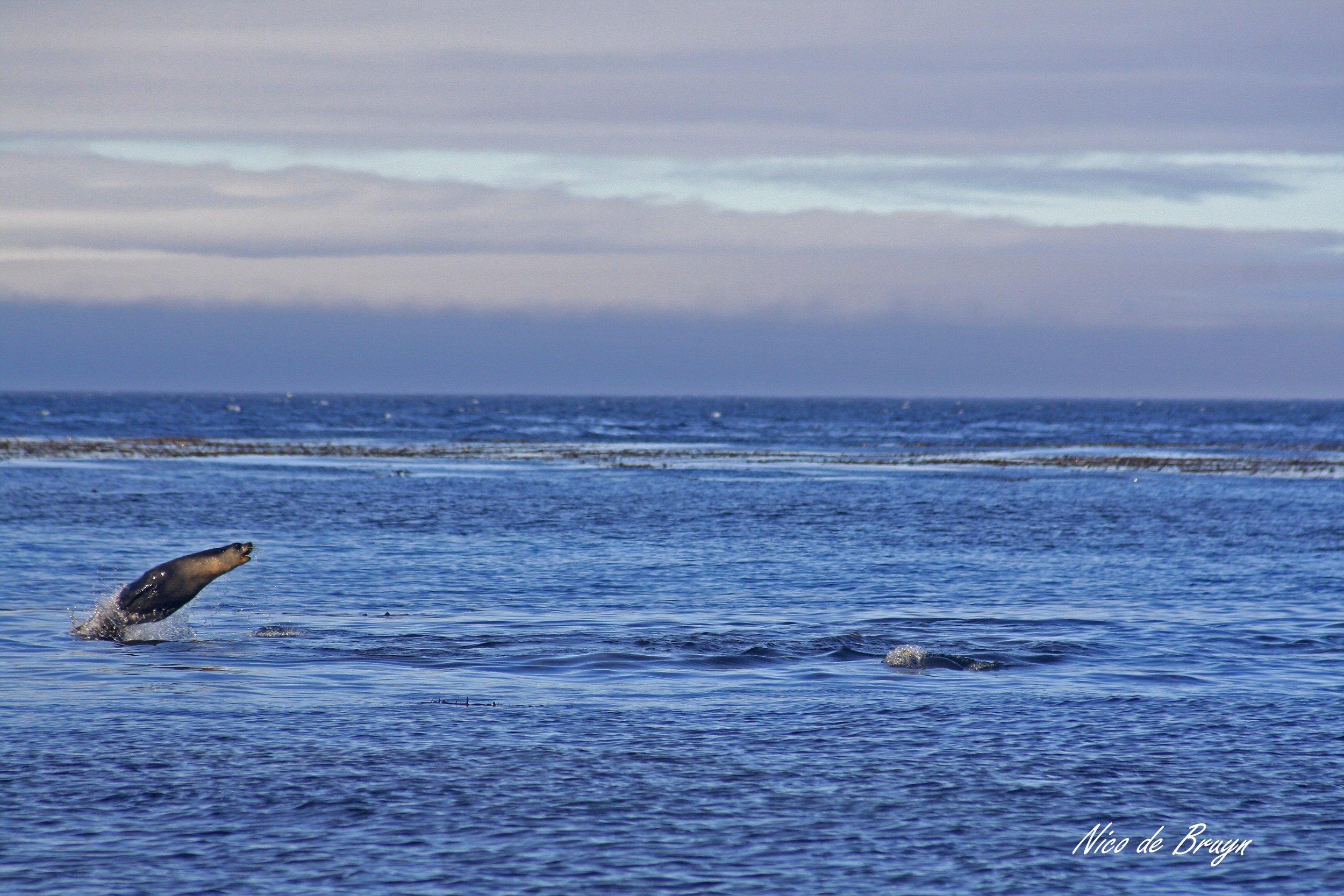 Subantarctic fur seals jumping_ (1).jpg