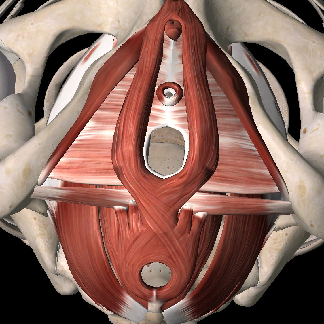 This is a view of the female pelvic floor muscles from below, or looking up at the bottom of the bowl of the pelvis. Note in both photos the 3 outlets of the PFMs: the urethral opening, the vagina, and the anus.