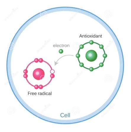 Imagen: El antioxidante cede un electrón al radical libre y lo transforma en una molécula estable. Cuando se forman, existen dos maneras de  neutralizarlos : reaccionando con antioxidantes (enzimáticos o no) o con otras moléculas que encuentren en su camino (lípidos, proteínas, nucleótidos). Esto último, es lo que genera una  reacción radicalaria en cadena  que finalmente causa el fotoenvejecimiento prematuro o la aparición de melanomas. Los radicales libres  se empiezan a formar tras los 20 minutos de exposición solar.