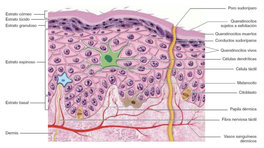 Foto: Epidermis, capa más externa de la piel donde están situados los melanocitos.