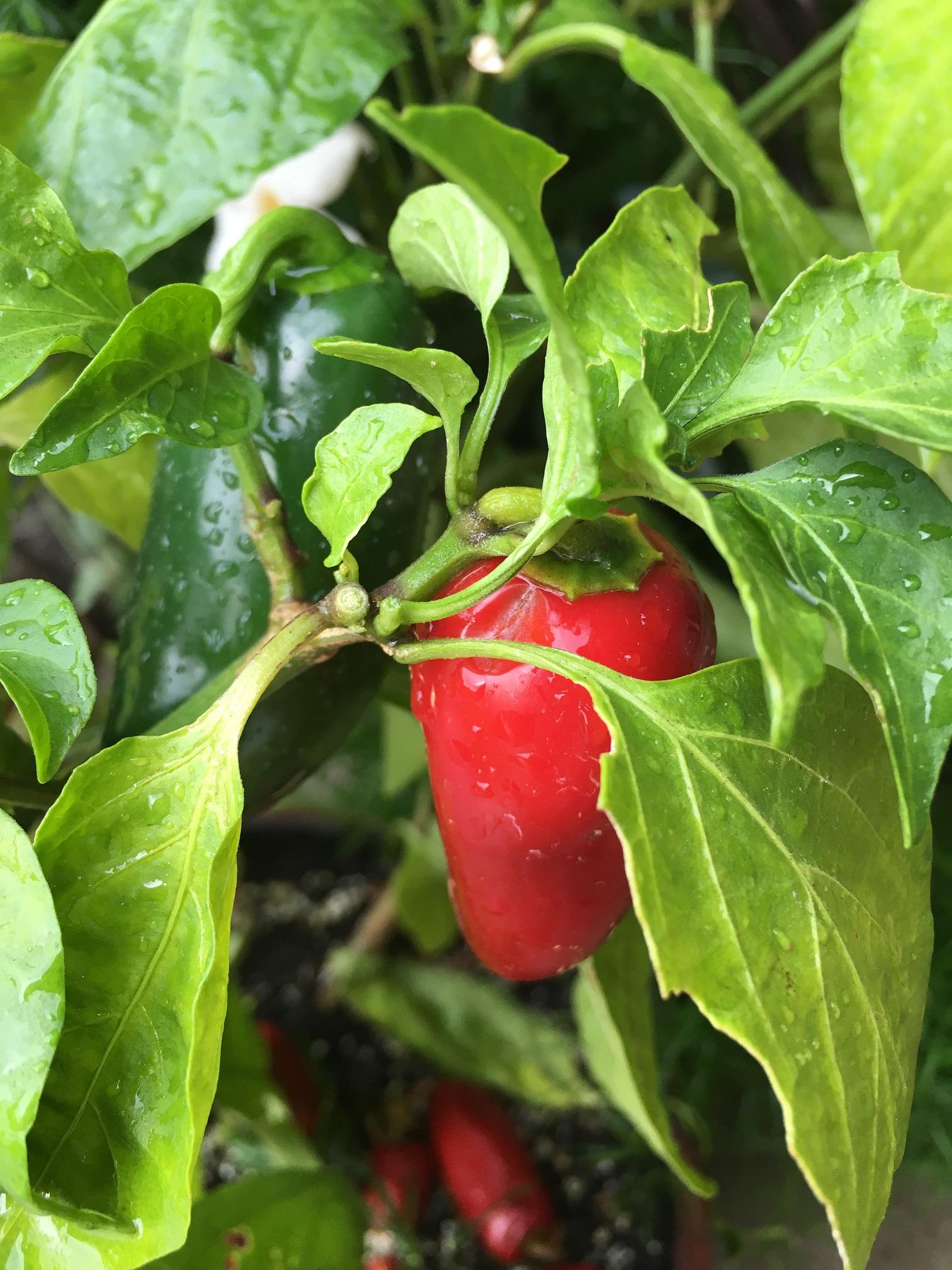 Hot-Pepper-RedGreen-resize50.jpg
