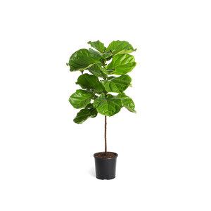 Fiddleleaf Fig (Ficus lyrata)