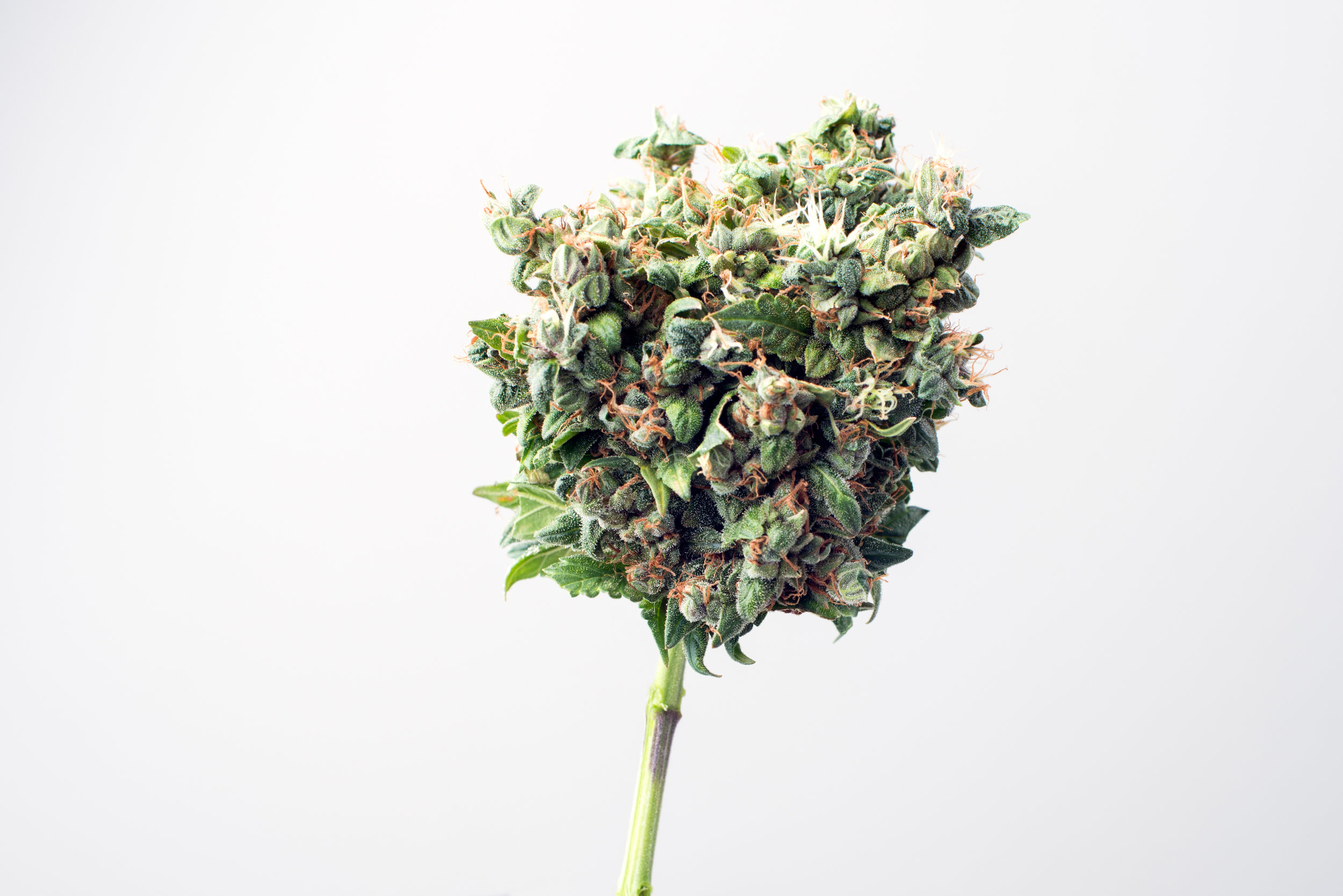 Top 3 Ways to Check the Quality of your Cannabis.jpg