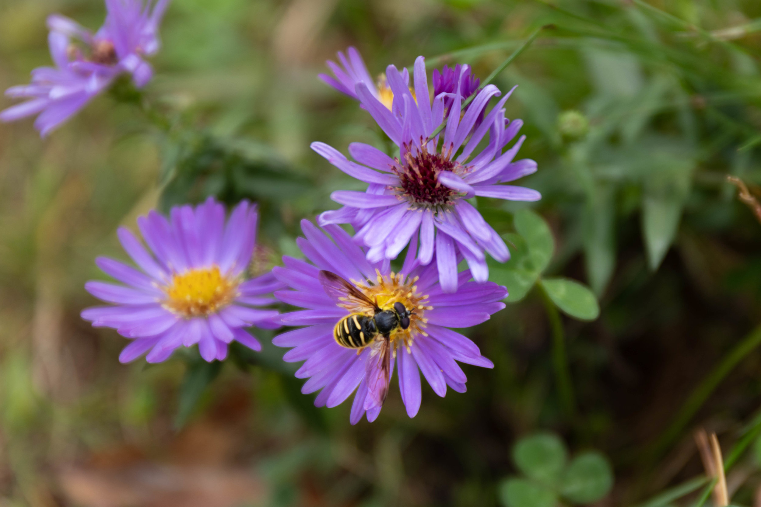 Macro photo of a bee on a purple flower along the Kancamagus Highway in North Conway, New Hampshire in fall by Vision Balm in Charleston, SC.