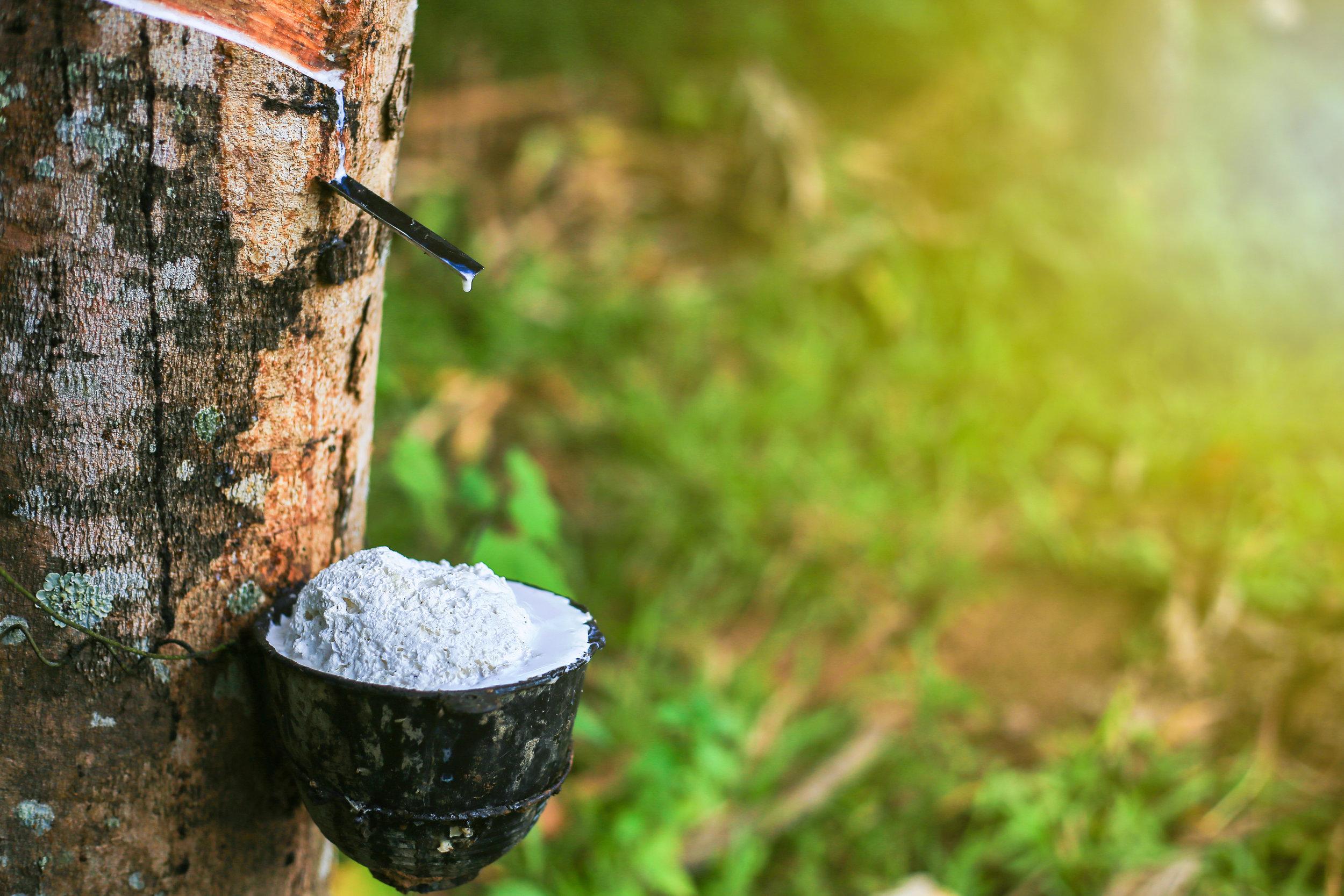 ….Raccolta..Harvest…. - ….L'estrazione dal tronco avviene mediante il tapping, ovvero la riapertura ad intervalli di tempo regolari di un'incisione diagonale poco profonda. Raccolto in una ciotola, il lattice prende due strade: può essere lasciato a coagulare in loco (cup-lump), o essere trasportato ancora allo stato liquido, per essere lavorato successivamente (field latex). Questa prima distinzione, determina già in parte i gradi di gomma che verranno prodotti. ..The extraction from the trunk is done by tapping, the reopening at regular time intervals of a shallow diagonal incision. The latex flows from the cut along a metal spout and into a cup. Once collected, the latex can either be left to coagulate on site (cup-lump), or be transported in liquid form, to be processed later (field latex). This early selection partly determines the rubber grades that will be produced…..