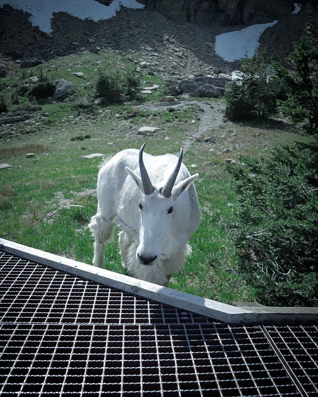 "True story: As I was taking this photo, people were like, ""Oh, that goat's goat going to hurt that large tourist."" I wasn't worried. I'm a mountain goat. Me and this goat had an understanding. #glaciernationalpark #mountaingoat #loganpass #montana #montanamoment #findyourpark #goat #wildlife #wild #wilderness_culture #wildlifephotography #wildlife_shots #nature_up_close #nature #adventure #adventurous #travelforever #travelphotography"