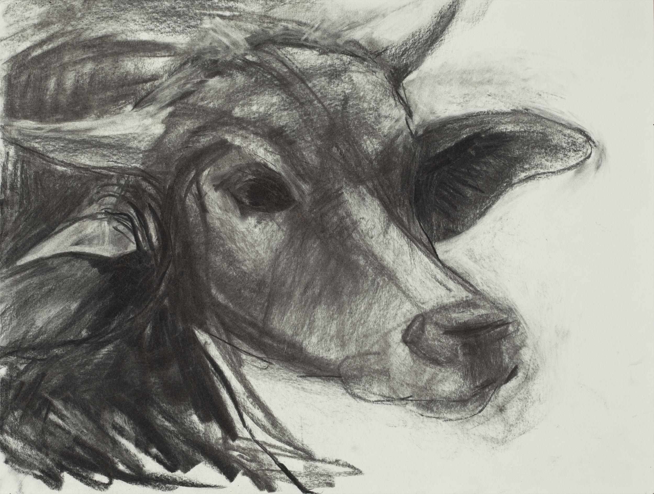 "Water Buffalo  Charcoal on Paper (24"" x 19"")"