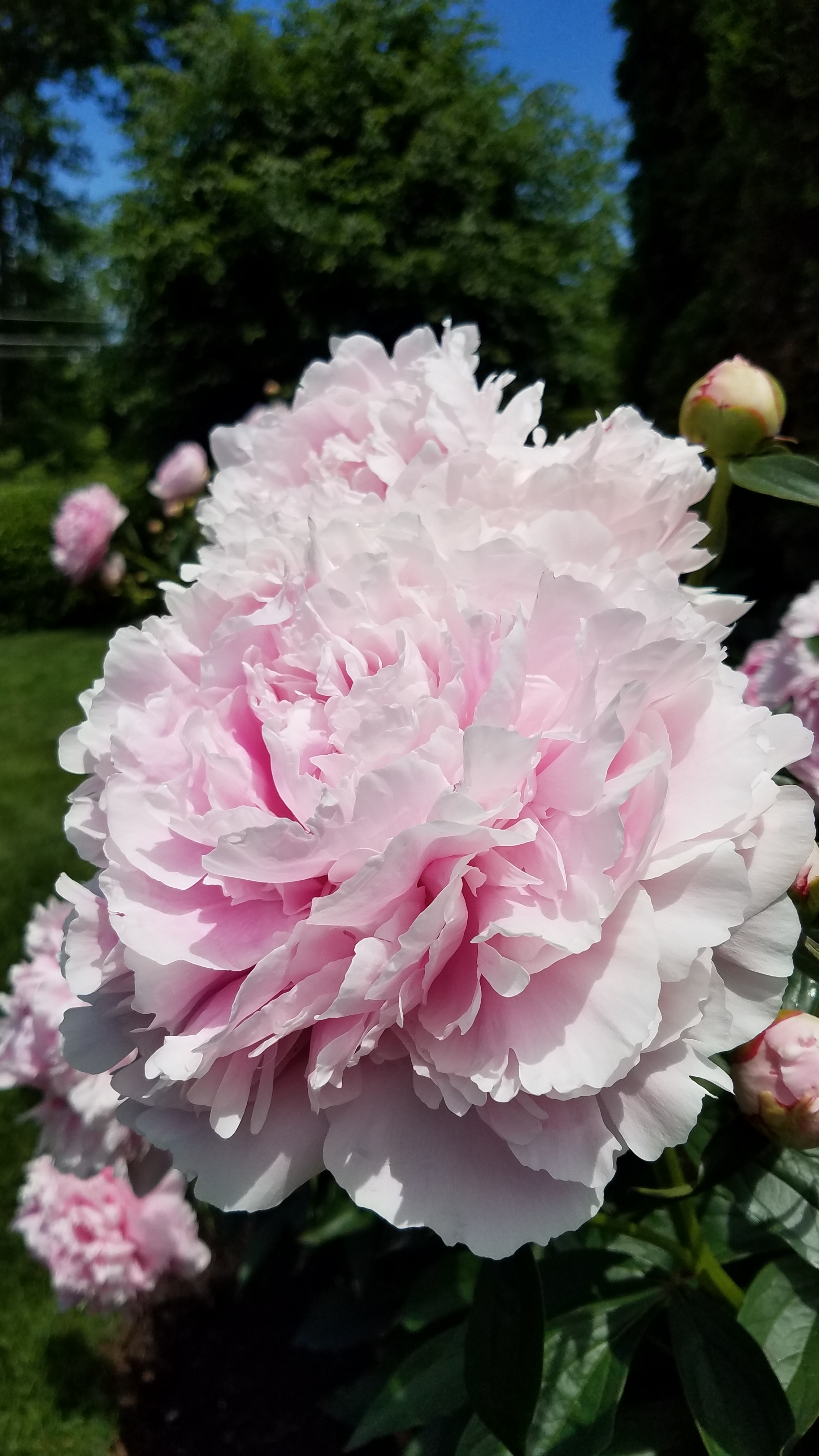greenwich garden tour peonies riverside, CT.jpg