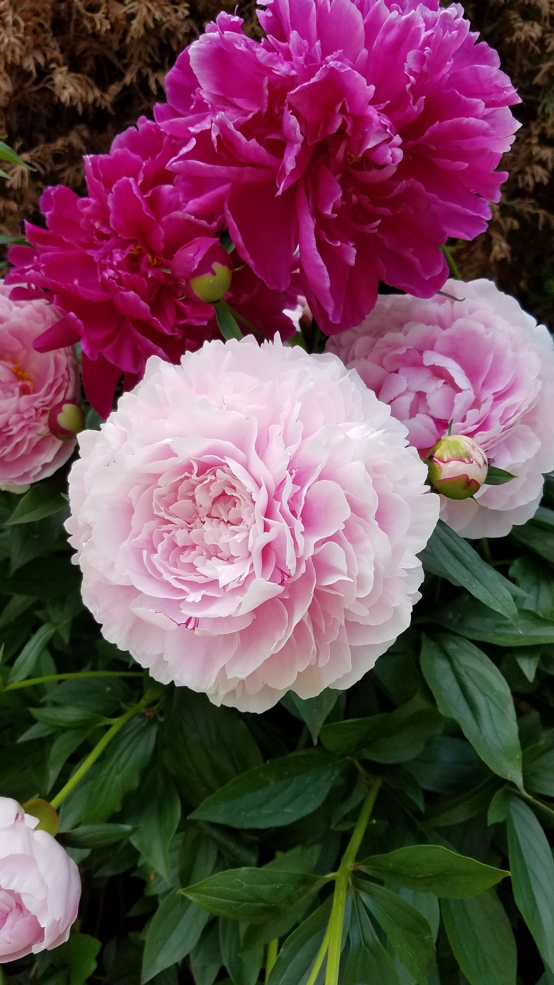 beautiful peonies on the greenwich garden tour grandiflora.jpg