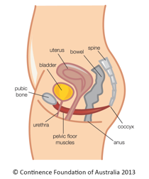 pelvic floor pic.png