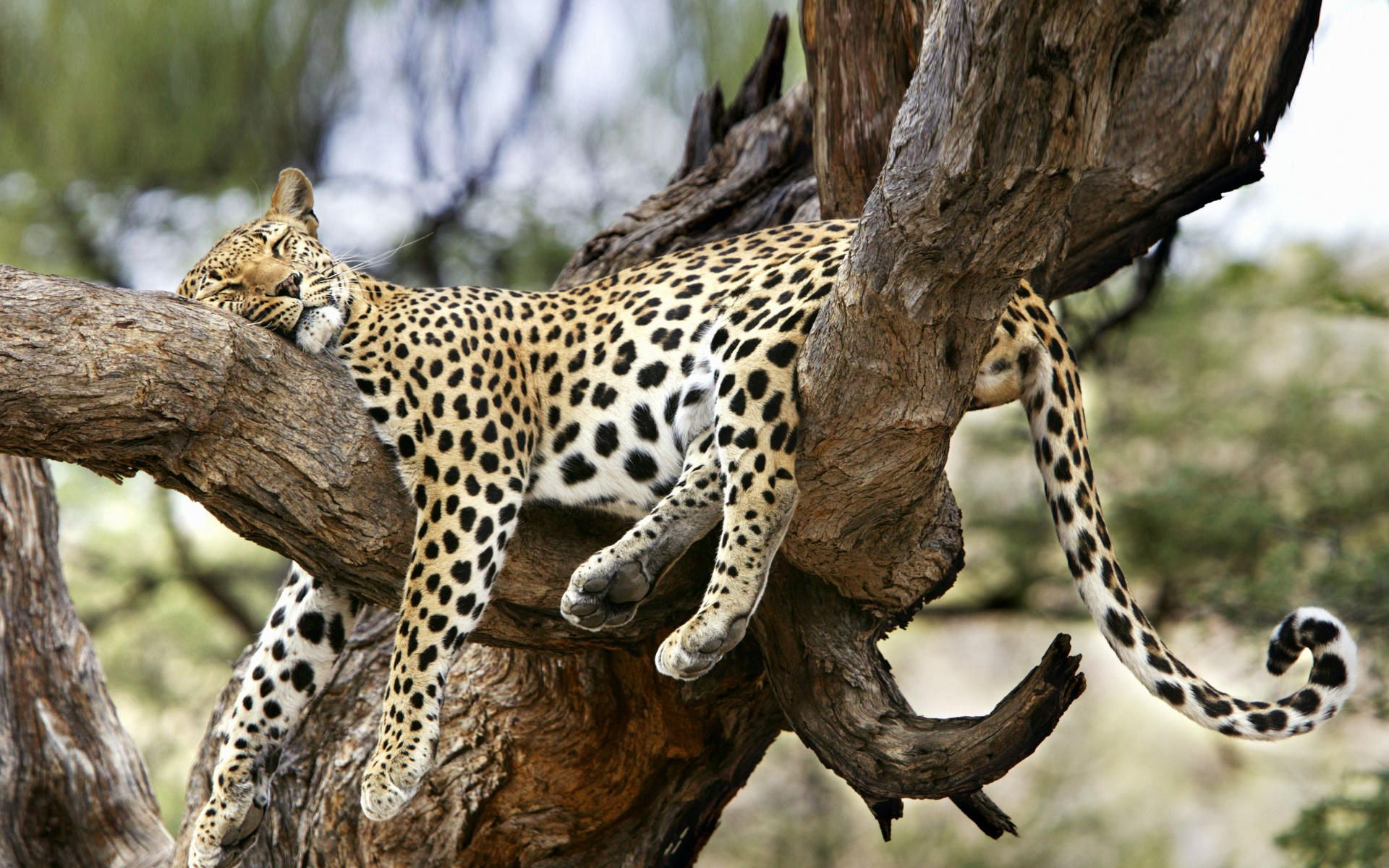Sleeping_Leopard.jpg