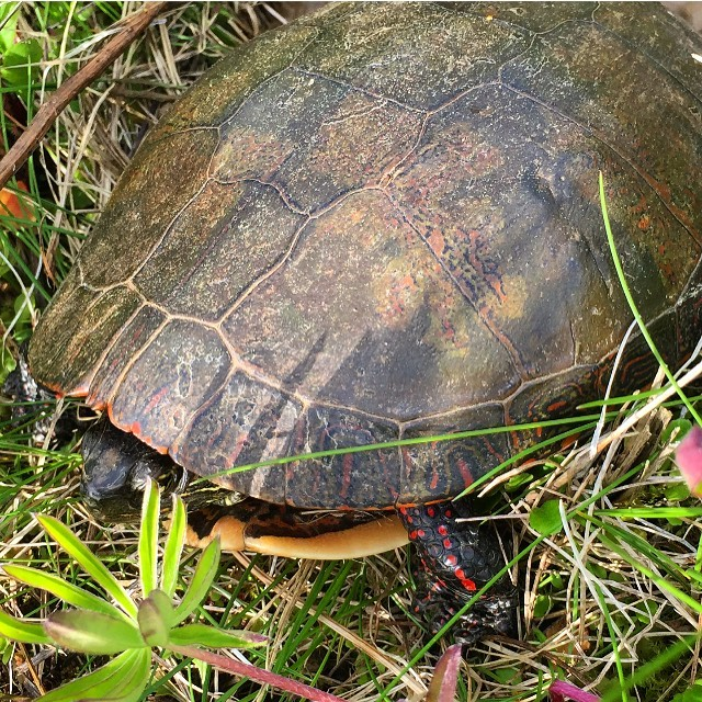 Found a painted turtle laying her eggs in the pasture!