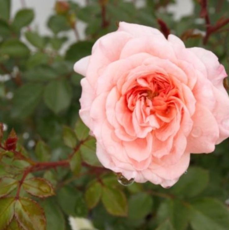 Apricot Pink Shrub Rose Bush.jpg