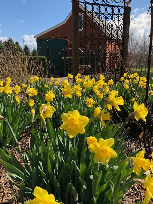 daffodils.jpeg