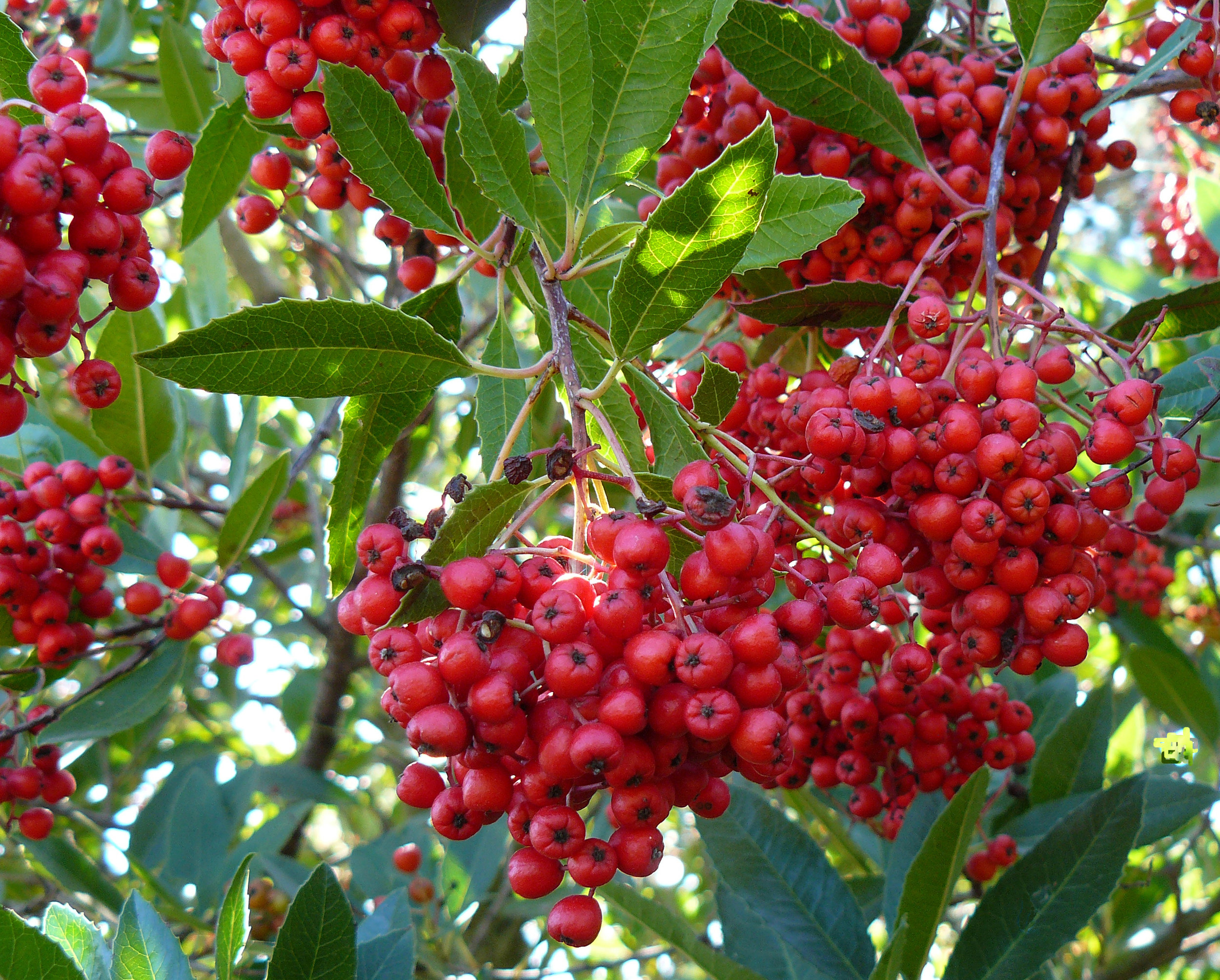 Image of the Toyon tree's berries. The Toyon tree was named the official Los Angeles city native plant in 2012. These beautiful shrubs produce edible berries, attract butterflies, birds, and other wildlife, and play an important role in maintaining natural habitats. When one of these shrubs is removed, the impacts go far beyond aesthetics, often affecting entire ecosystems. Source: Wikipedia and Los Angeles Department of City Planning Staff Report CPC-2016-4520-CA.