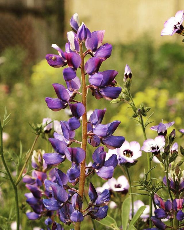 Lupinus Succulentus or Arroyo Lupine (foreground) and Gilia Tricolor or Birds Eye Gilia (background) make an attractive companion planting. The  lupine is sweet smelling and #nitrogenfixing as it is a member of the pea family while the gilia is frequently visited by #bees, #hummingbirds and other #pollinators #losangeles #plantmedicine #ethnobotany  #knowyourcity #flowerpower #lawild #wildflowers