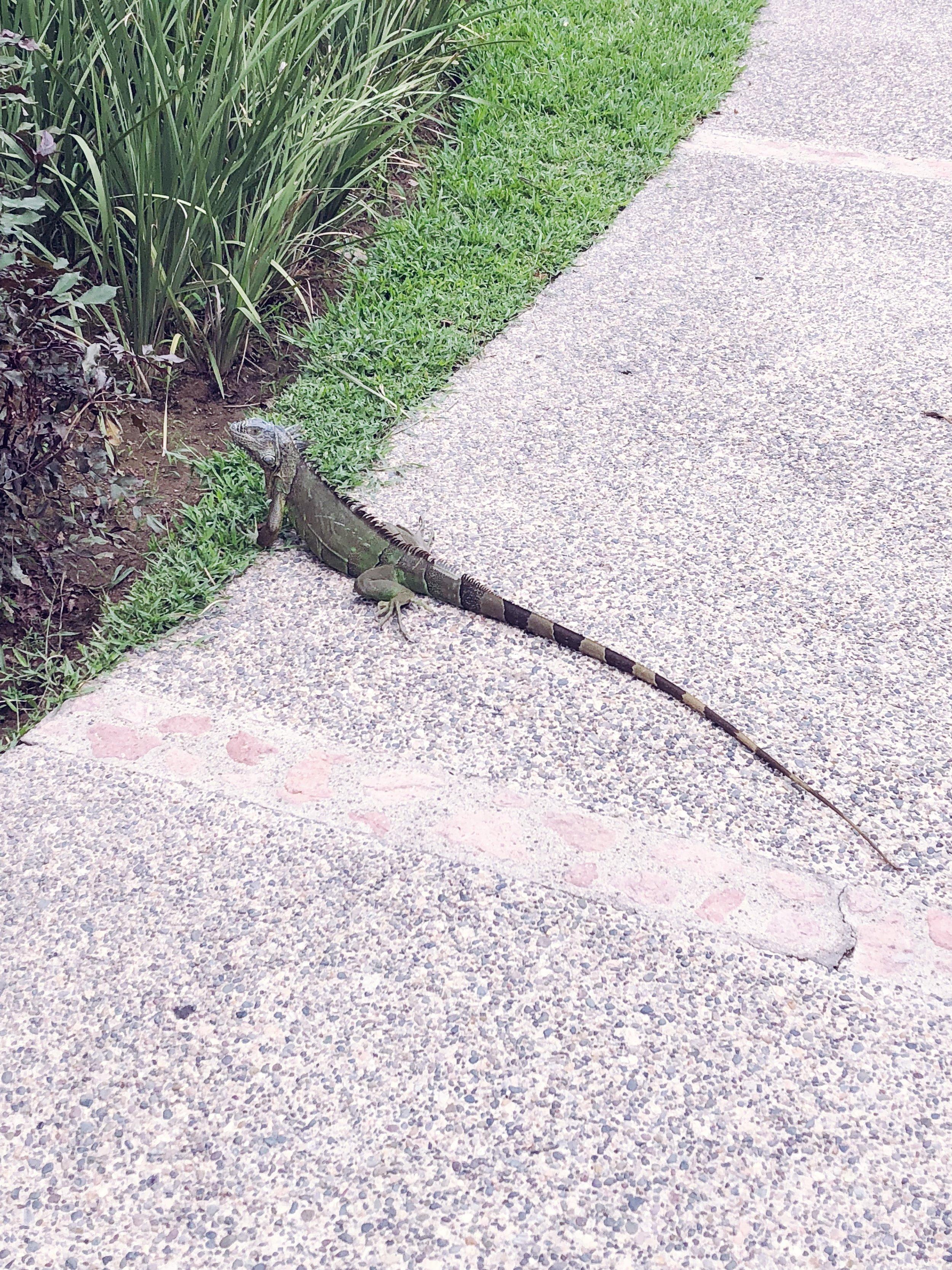 Iguanas are everywhere in Puerto Vallarta.