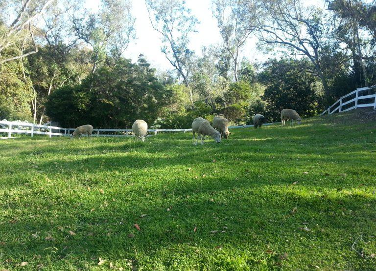 sheep-in-paddock_edited-7-768x555.jpg