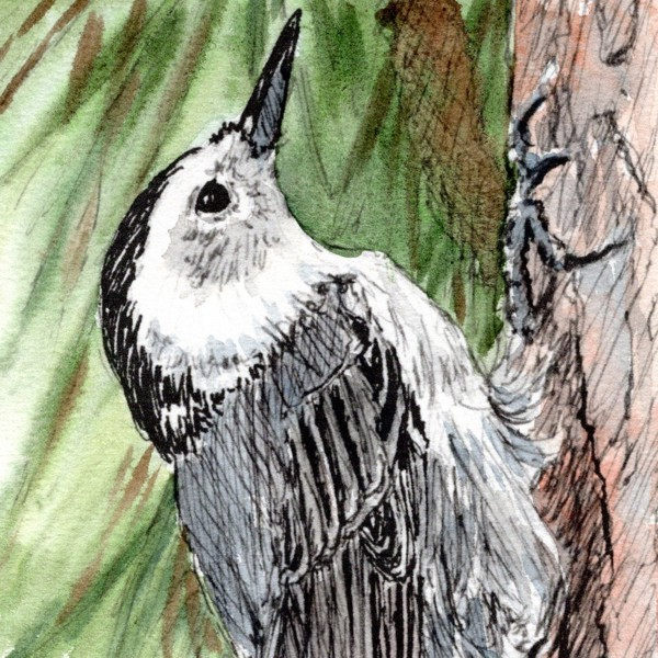 nuthatch-ink-and-watercolor-by-Lorraine-Watry.jpg