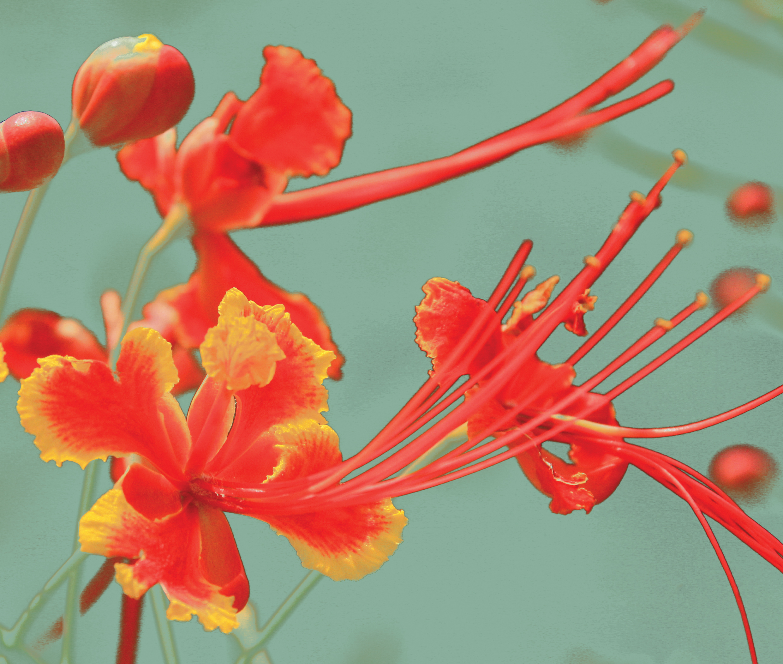 Fig03_Caesalpinia_pulcherrima_flowers.jpg