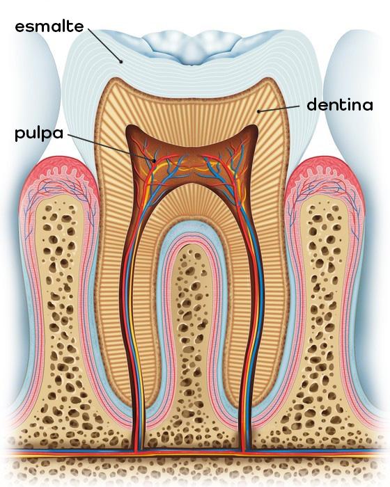 Anatomía de un diente - La corona de un diente es la parte que puedes ver y está compuesta por tres capas: el esmalte, la dentina y la pulpa.