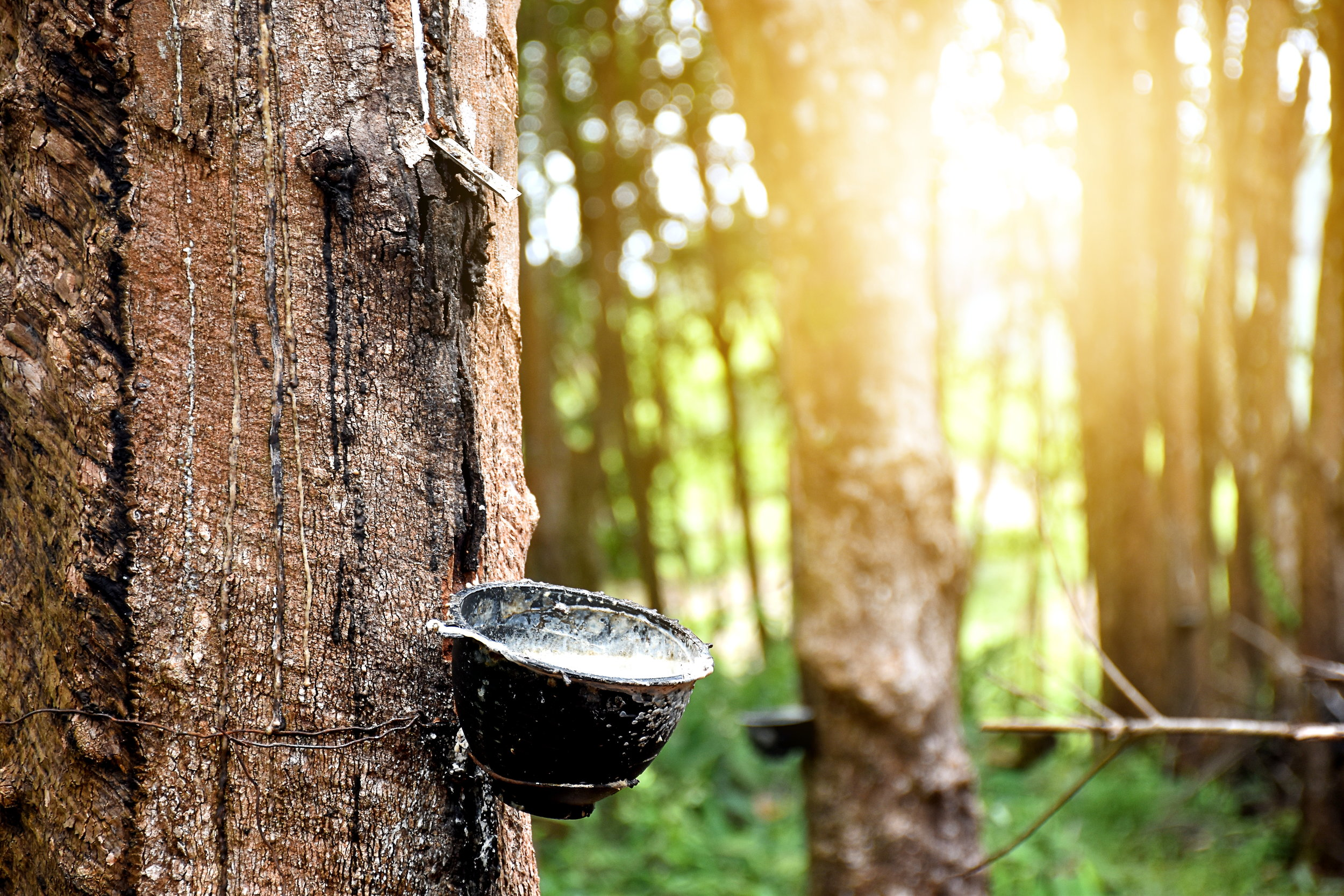 Rubber plantation after harvest