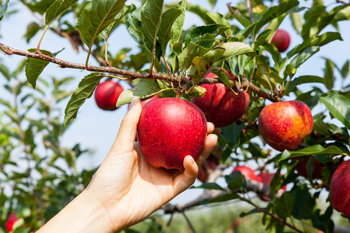 Crop forecast for apple production stands at 12,6 milion T