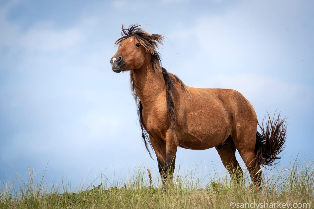 Sable Island stallion on a ridge
