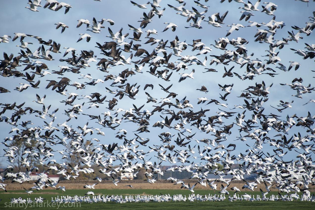snow geese wm (1 of 1).jpg